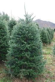 Fraser Fir Christmas Trees Nc by Why Fraser Fir Reasons To Choose Cool Springs Nursery