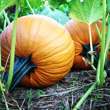 Pumpkin Picking Farms In Maryland by 15 October Festivities In Maryland
