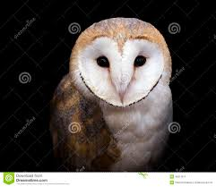 Barn Owl Stock Photos - Royalty Free Images - Dreamstime Common Barn Owl 4 Mounths In Front Of A White Background Stock Royalty Free Images Image 23603549 Known Photo 552016159 Shutterstock Owl Wikipedia 644550523 Mdc Discover Nature Tyto Alba Perched On A Falconers Arm At Daun Audubon Field Guide Mounths Lifeonwhite 10867839 Barnowl 1861 Best Owls Snowy Saw Whets Images Pinterest Photos Dreamstime