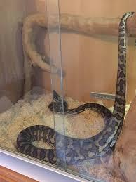 Coastal Carpet Python Facts by Carpet Python And Full Setup Gloucester Gloucestershire