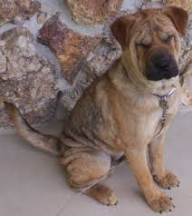 Do Shar Peis Shed Hair by Chow Pei Shar Pei Chow Chow Mix Info Temperament Puppies Pictures