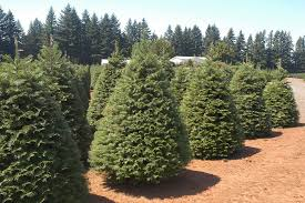 Popular Christmas Tree Species by Rickels U0027 Tree Farm