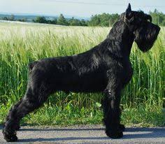 Do Giant Schnauzers Shed by Do Giant Schnauzers Shed 45 Images Giant Schnauzers Five And