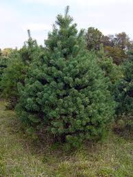 What Christmas Tree Smells The Best by Where To Buy Real Christmas Trees In And Around Edinburgh The List