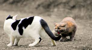 aggressive cat is your cat acting aggressive the purrington post