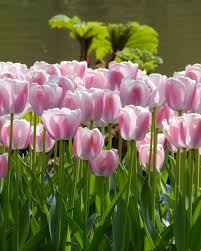 11 best darwin hybrid tulips images on tulips flowers