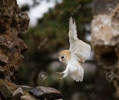 A Barn Owl Flying In Old Castle Ruins In Morning Houres. Stock ... Standing Twelve Weekold Barn Owl Side View Stock Photo Getty Images Boxes South Downs National Park Authority Old Man Of Minsmere Aka John Richardson Gorgeous Birds In Folklore Owls And Ravens Randomdescent Orbit The 5 Weekold Baby Who Has Been Hand Ared By Owl Wikipedia Coda Falconry On Twitter Our 7 Week Old Barn Was Bred At Dont Go Deaf New Zealand Geographic Australian Masked Rescuing Owls Tropic Wonder Audubon Art Print Vintage Nature Bird Eyfs Blog Archive Wise