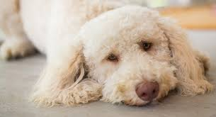 hypoallergenic dogs the facts about non shedding breeds
