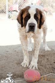 Do Short Haired Saint Bernards Shed by 2014 Adopted Placed Saint Bernards
