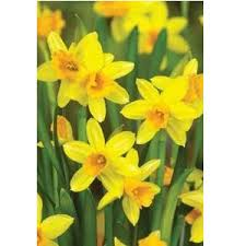 taylors 100 tete a tete narcissi bulbs the railway line