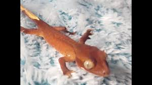 Halloween Pinstripe Crested Gecko by Crested Gecko Baby First Steps The Perfect Reptile Pet Youtube
