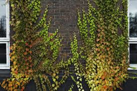 100 Brick Walls In Homes Best Vines For Tips On Choosing Vines For