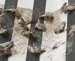 kleidermotten loswerden so werden die schädlinge im schrank