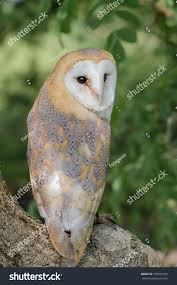 Barn Owl Perched Tree Looking Backwards Stock Photo 150815156 ... Barn Owl Perching On A Tree Stump Facing Forward Stock Photo The Owls Of Australia Australian Geographic Audubon Field Guide Beautiful Perched 275234486 Barred Owl Vs Barn Hollybeth Organics Luxury Skin Care Why You Want Buddies Coast News Group Sleeping By Day Picture And Sitting Venezuela 77669470 Shutterstock Rescue Building Awareness Providing Escapes And Photography Owls Owlets At Charlecote Park Barnaby The Ohio Wildlife Center