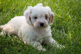 Do Cavapoos Shed A Lot by Cavapoo Puppies