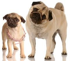 do pugs and puggles shed pugs what s about em what s bad about em