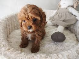 Do Cavapoos Shed A Lot by Peach U0027s Red Female Puppies Pinterest Dog Pup And Animal