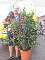 laurier pot de 40cm www jardinerie jean gerard fr vente