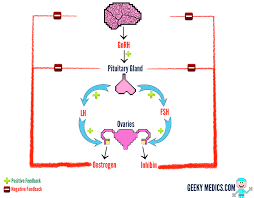 Shedding Uterine Lining During Period by The Menstrual Cycle Geeky Medics
