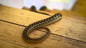 Learn How To Keep Snakes Out Of Your House - YouTube Diamondback Water Snake Indiana 1 Yard Long Youtube Snake Trap Cahaba Ewww Snakes 6 Tips To Keep Them Away From Your Home How A 14 Steps With Pictures Wikihow In The Duck House 9 Tips Help Repel Snakes Fresh Eggs Best Way Ive Found Yet Deal Problems Backyard Removal Wildlife Services Of South Florida Catch Deadly Safely Out Louisiana Department And Fisheries