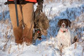 Springer Spaniel Shed Hunting by Ontario Out Of Doors Magazine Hunting Fishing Outdoors