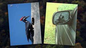 Angry Woodpecker Responsible For Rash Of Car Vandalism Complaints ... Eno Woodpecker For Web Choose Us All Types Of Tree Work Shropshire Creambacked Woodpecker Campephilus Leucopogon Female In A Truck Express Pro Modified Trigger King Rc Radio Truck Driving Race Us Route Car Transporter Children Fusion Signs Graphics Vehicle Branding Downy Hears While Eating Suet Youtube Steward Observatory 4x4 Adventures Mine Passed By Family Rheaded Woodpeckers On Our Way Out To 2009 Intertional 7400 Water Tank For Sale 64945 Miles Woody Fire Engine Kiddie Coin Ride Jolly Roger Princess Anna And The Incredible Hulk