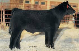 Heat Wave Davidson Jackpot 74z Salebook Bull Barn Saler Semen Competive Edge Genetics Abs Global Inc Bovine Reproduction Services And December 2011 Horizons By Genex Cooperative Issuu Lookout Mountain Llc Home Facebook Znt Cattle Co 2012 44 Arsenal 4w07 Kittle Farms Hart Star 35y43 For Sale 2014