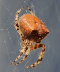 Araneus Gemmoides - Wikipedia Barn Spider Photography Nature Pinterest Update Spiders Still Dont Bite Arthropod Ecology Beneficial In The Landscape 49 Bana Nephila Tegenaria Domestica Wikipedia Grass Spiders At Spiderzrule Best Site World About Spiderlings Eat Mother Youtube Myths Burke Museum What Are Some Common Montana Animals Momme 7 Bug And Squashed National Geographic Society Blogs Neighbourhood Agriculture Food Molting