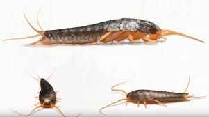 silberfische in wenigen schritten bekämpfen futura gmbh