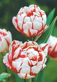 tulipa carnaval de paeony flowered tulip tulips