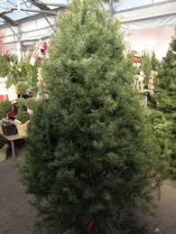 Christmas Tree Preservative Recipe Sugar by Most Christmas Trees Go Up This Weekend Watters Garden Center