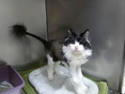 Excessive Hair Shedding In Cats by Why Is My Cat Losing Hair Libertyville Review