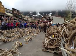 Does Deer Shed Their Antlers by Boy Scout Auction Sells 200 000 Worth Of Elk Antlers Outdoorhub