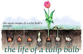 the of a tulip bulb