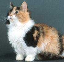 munchkins cats munchkin cat cat breeds petfinder