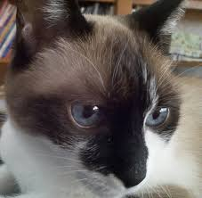 snowshoe cat snowshoe cats pictures and breed information