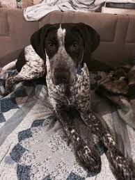 German Shorthaired Pointer Shed Hunter by German Shorthaired Pointer Dog Breed Information And Pictures