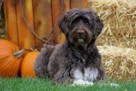 Portuguese Water Dog Non Shedding by Hypoallergenic Breeds For People With Dog Allergies