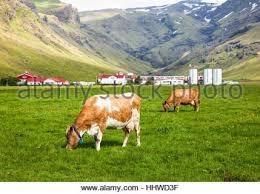 Holstein cow in dairy farm paddock Full body walks on green Stock