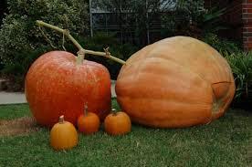 Atlantic Giant Pumpkin Taste by In Pursuit Of The Great Backyard Pumpkin U2014 Veggie Gardening Tips
