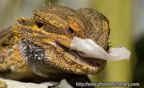 bearded dragon 2