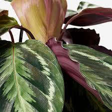 calathea pflanze korbmarante versch arten 19 cm