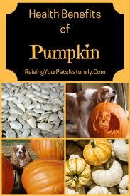Fresh Pumpkin For Dog Diarrhea by Health Benefits Of Pumpkin For Us And Our Pets Pumpkin For Dogs