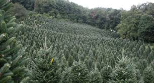 Frasier Christmas Tree Cutting by Fresh Christmas Trees And Greens Fruit Basket Flowerland