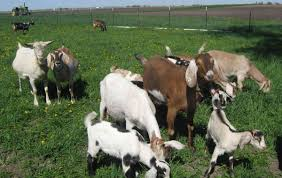 Red Barn Farm's Goats Provide Milk For Soaps With Organic Ingredients. Farm House 320 Acres Big Red Barn For Sale Fairfield The At Devas Haute Blue Grass Vrbo Fair 60 Decorating Design Of Best 25 Barns Ideas On Pinterest Barns Country And Indiana Bnsfarms Etc A In Water Color Places To Visit Nba Partners With Foundation For 2015 Conference I Lived A Dairy Farm When Was Girl Raised Calves 10 Michigan Wedding You Have See Weddingday Magazine