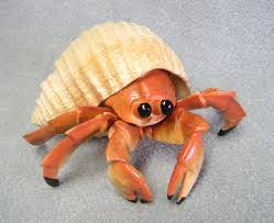Do Hermit Crabs Shed Their Body by Is My Hermit Crab Dead Blurtit