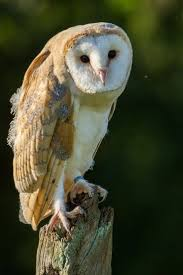 415 Best Birds Mostly UK Images On Pinterest | Feather, Nature And ... This Galapagos Barn Owl Lives With Its Mate On A Shelf In The Baby Barn Owl Owls Pinterest Bird And Animal Magic Tito Alba Sitting On Stone Fence In Forest Barnowl Real Owls Echte Uilen Wikipedia Secret Kingdom Young Tyto Roost Stock Photo 206862550 Shutterstock 415 Best Birds Mostly Uk Images Feather Nature By Annette Mckinnnon 63 2 30 Bird Great Grey