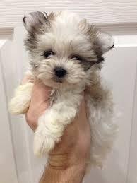 Best Mini Dogs That Dont Shed by 13 Gorgeous Maltese Mixes And Their Ludicrous Names