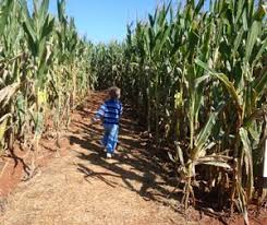 Pumpkin Patch Collins Ms by Southeastern Mississippi Corn Mazes Near You