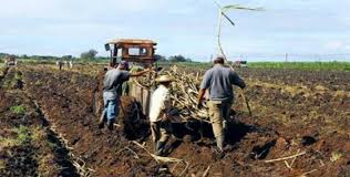 Havana February 10 RHC PL Azcuba Sugar Group Seeks To Increase The Production Of Bagasse Boards And Diversify Uses This Fiber